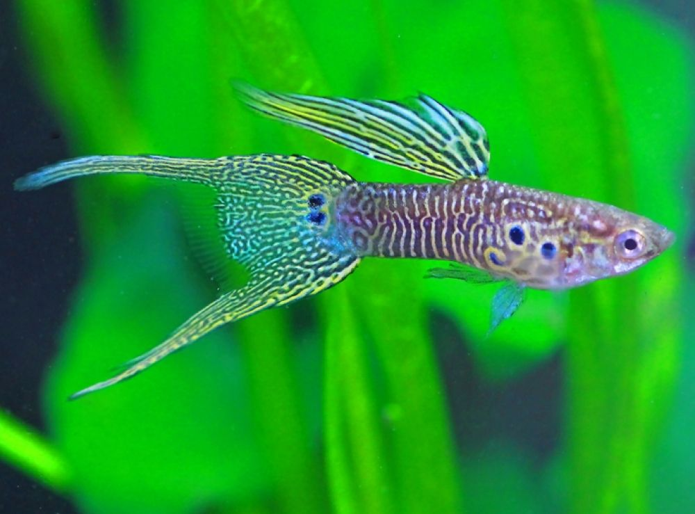 Share If You Find It Terrific You Are Welcome At Https Www Aquafood Co Uk In 2020 Guppy Fish Guppy Tropical Fish Aquarium