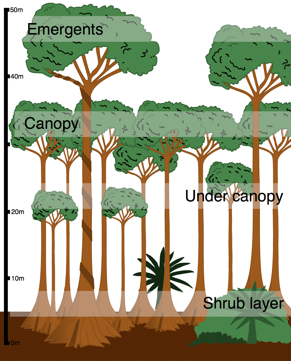 How To Draw A Rainforest Tree : rainforest, Layers, Tropical, Rainforest, Trees,, Rainforest,, Plants