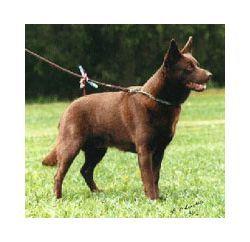 Winnie S Not A Mutt After All She S An Australian Kelpie Australian Kelpie Popular Dog Breeds Dog Breeds