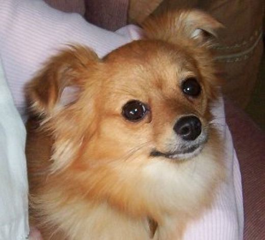 chihuahua pomeranian mix full grown pomchi hybrid dogs chi pom chiranian doggies 6136