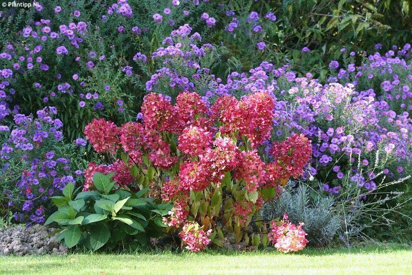 "Hydrangea paniculata ""Rendia"" DIAMANT ROUGE - Havlis.cz"