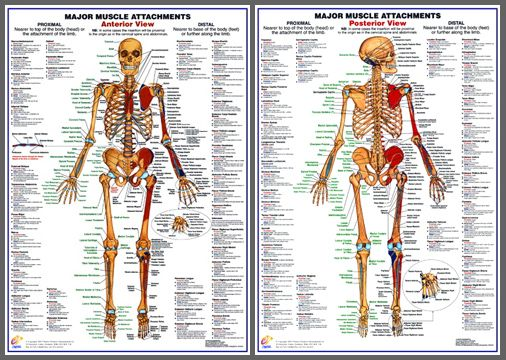 Major muscle attachments anterior posterior human anatomy wall chart poster combo available at sportsposterwarehouse also chartex ltd rh pinterest