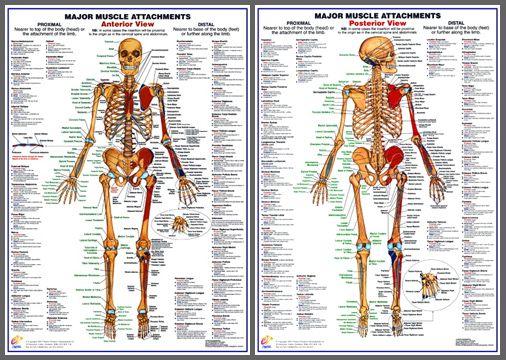 CIRCULATORY SYSTEM Anatomy Professional Fitness Wall Charts 2 Poster Set