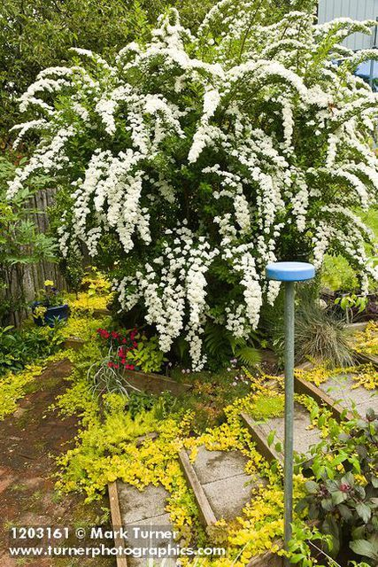 Much better known as Bridal Wreath SPIRAEA x vanhouttei Spectacular in flower.
