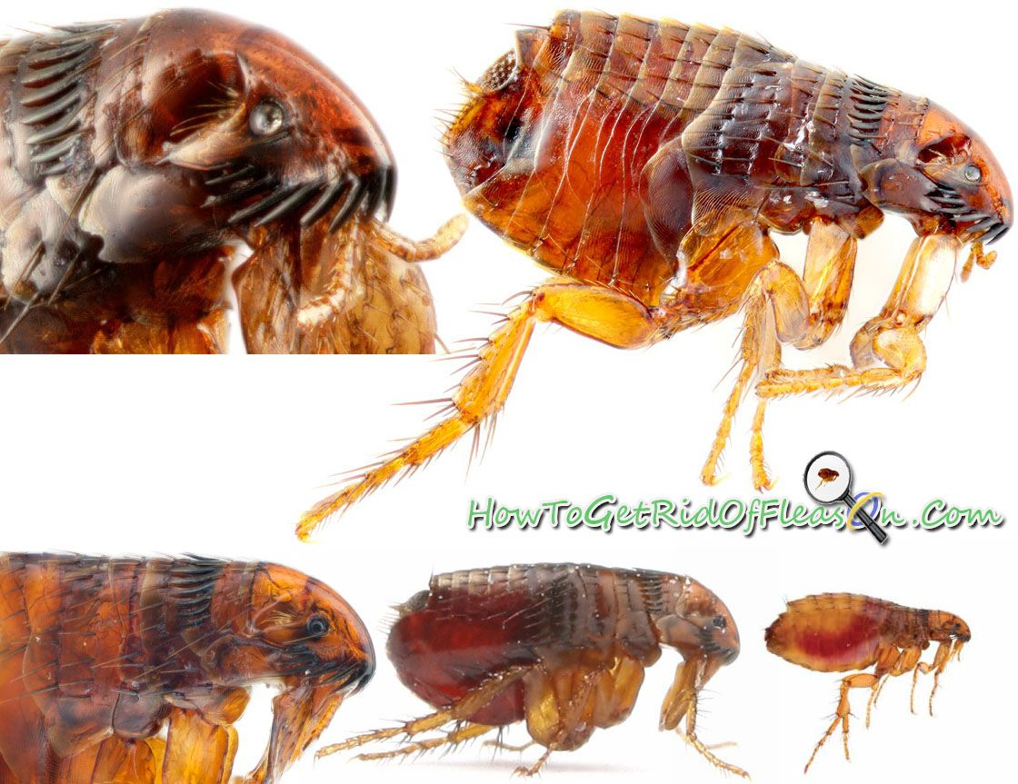 Fleas close up pictures to the fleas real body appearence