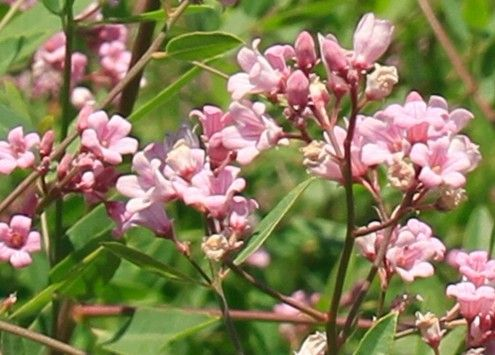 Apocynum Commonly Known As Dogbane And Indian Hemp Is A Genus Of
