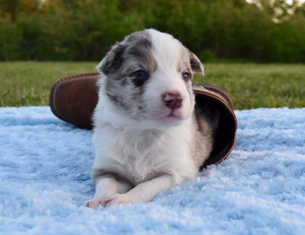 Macchiato Is A Red Merle Border Collie Puppy Border Collie Puppies Maremma Sheepdog Puppy Border Collie