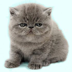 Pin On Exotic Shorthair Cats