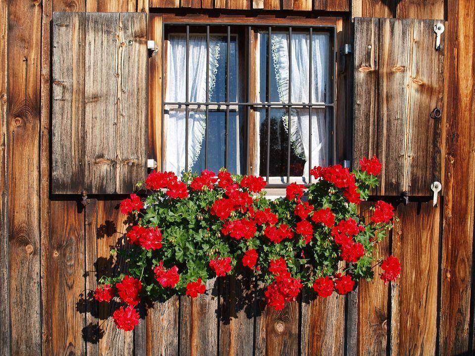 Tot ce trebuie să știi despre îngrijirea mușcatei - Grădină și sănătate