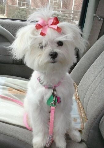 Maxie our Maltese after being groomed :)