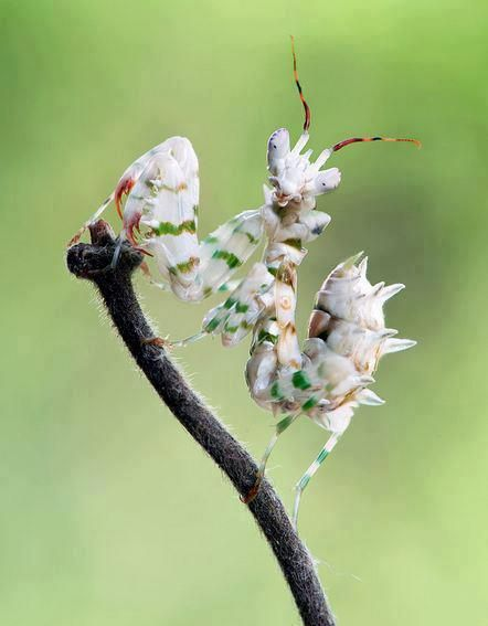 Spiny Flower Mantis — with Florentino Urbiztondo and Sheila Shailes.