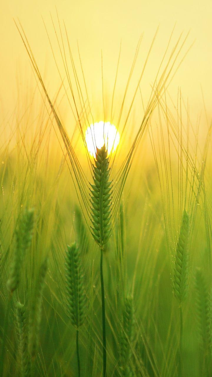 720x1280 Wallpaper Barley Field Sun Nature Iphone Wallpaper