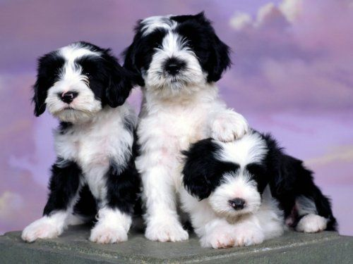These Are Black And White Tibetan Terrier Puppies With Images