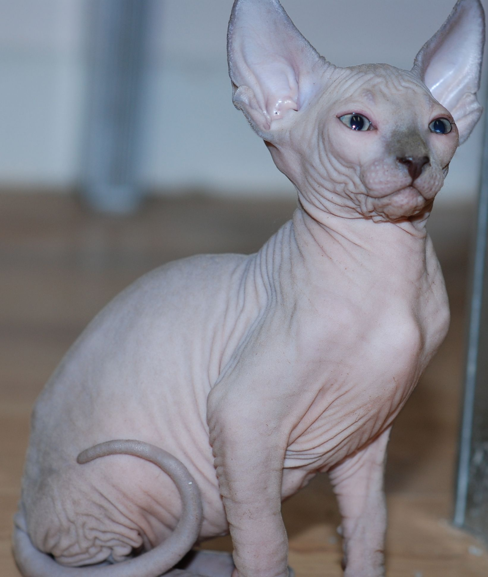 Jesse Said I Can Get One I M Obsessed With Sphynx Cats Hairless Kitten Cat Expressions Sphynx Cat