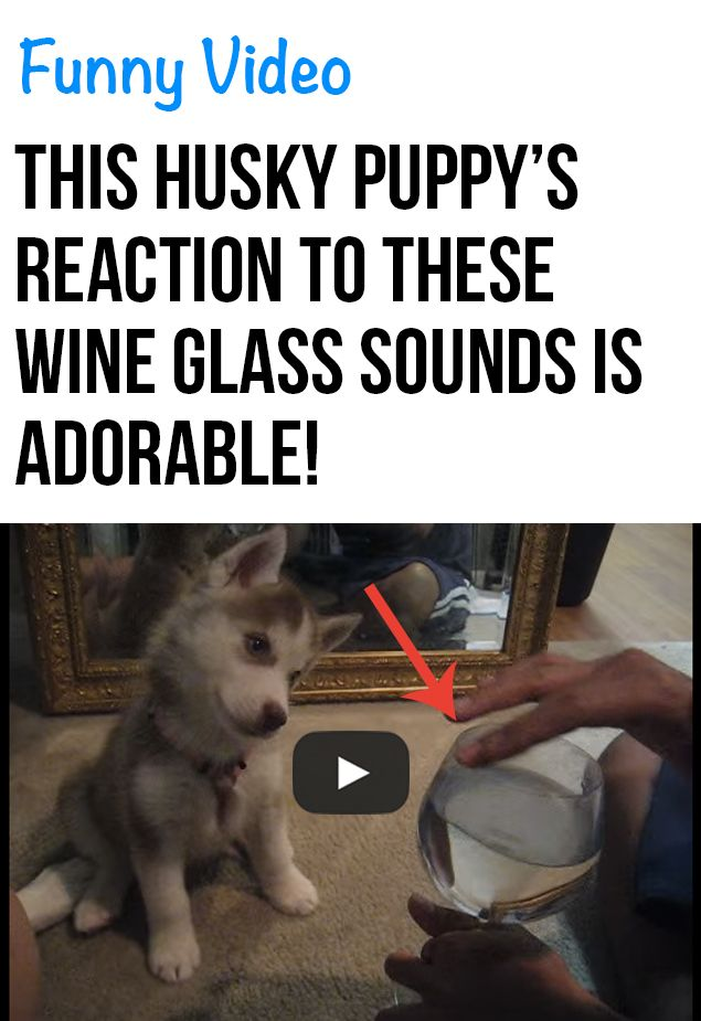 Husky Puppy Confused By Wine Glass Sounds Husky Puppy Puppies