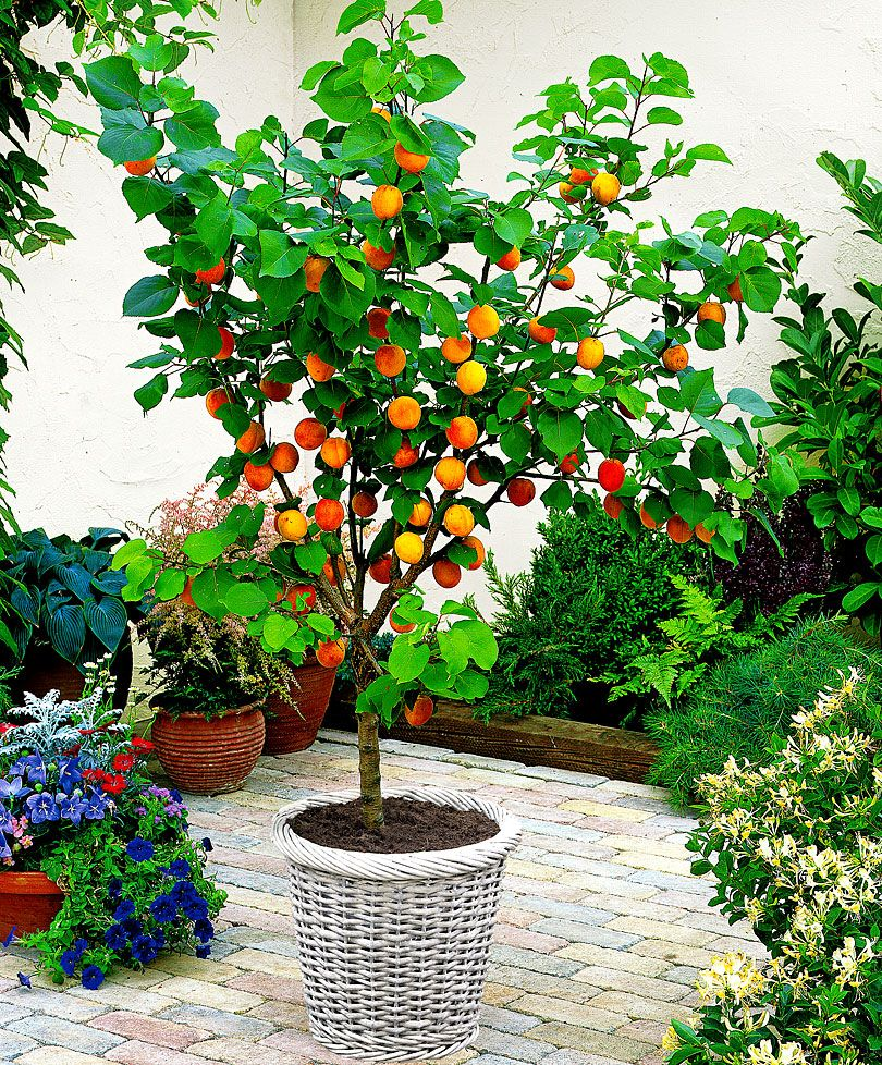 Dwarf Apricot Grow Your Own From Bakker Spalding Garden Company Potted Trees Dwarf Fruit Trees Organic Fruit Trees