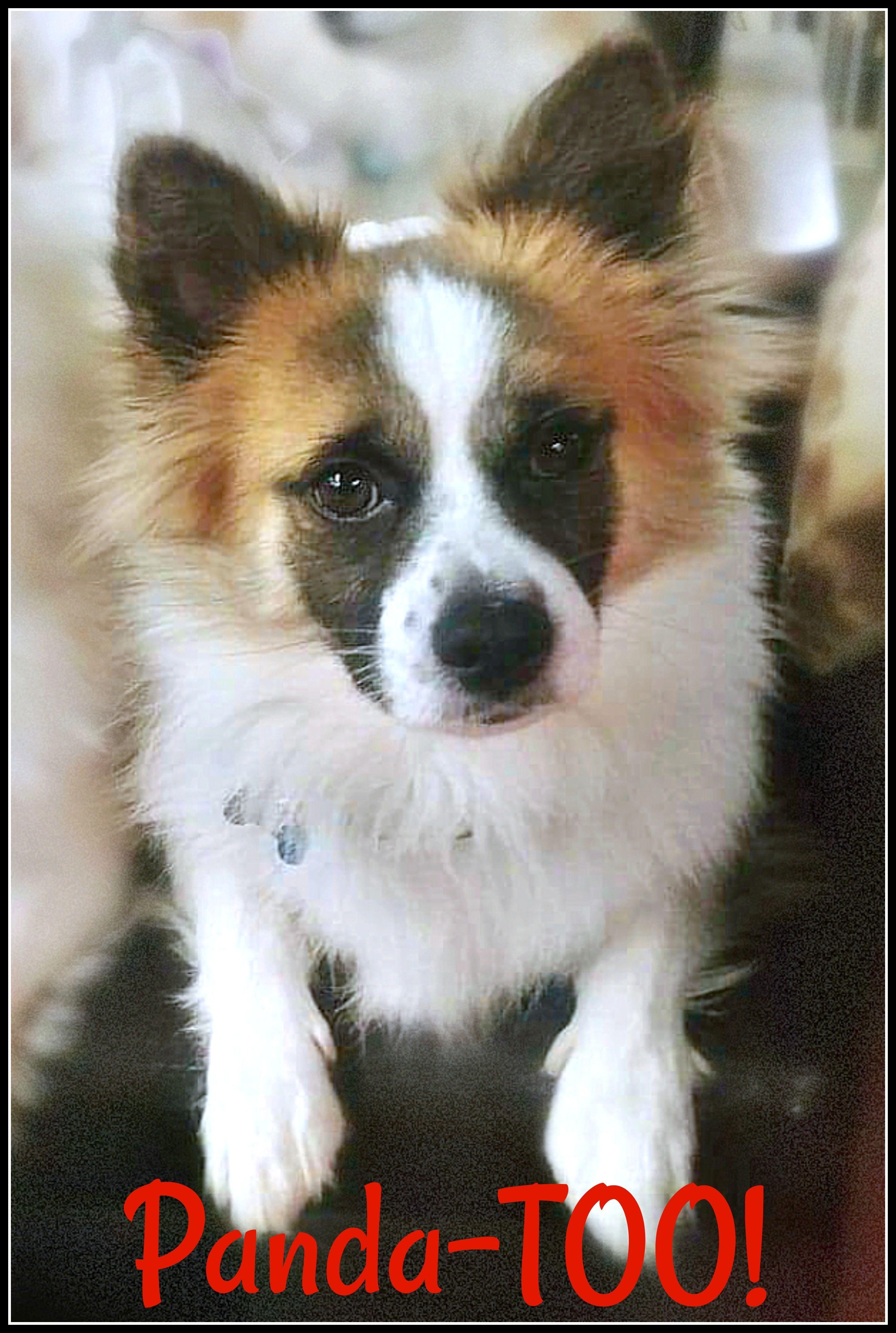 Adopt PandaToo! on American eskimo dog mix, American