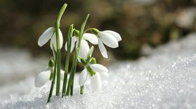 Melting Snow And Snowdrops Flower Stock Footage Video 100 Royalty Free 3809876 January Birth Flowers Birth Flowers Birth Month Flowers