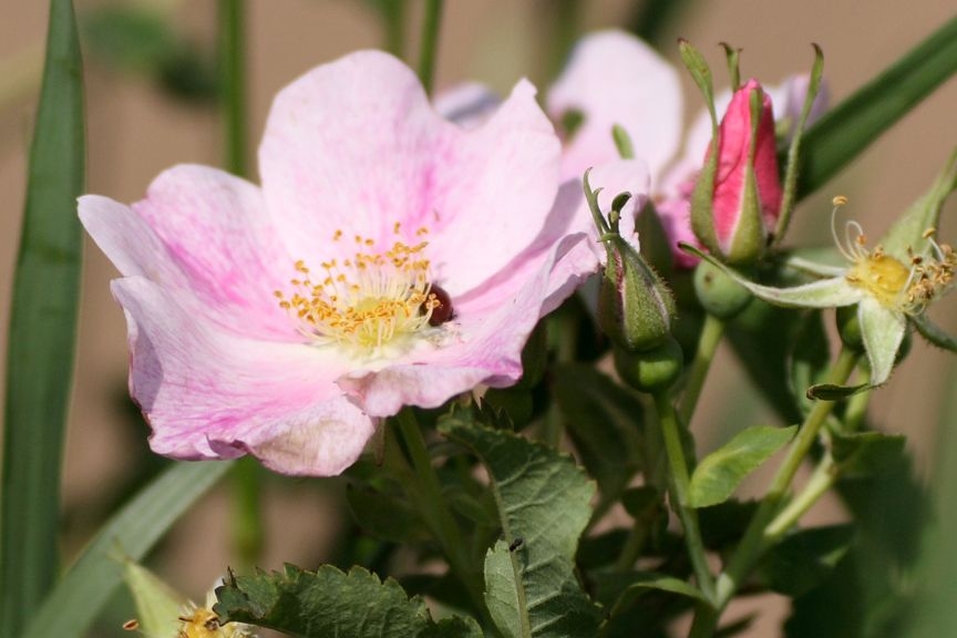 Wild Prairie Rose Is The State Flower Of Iowa And North Dakota In