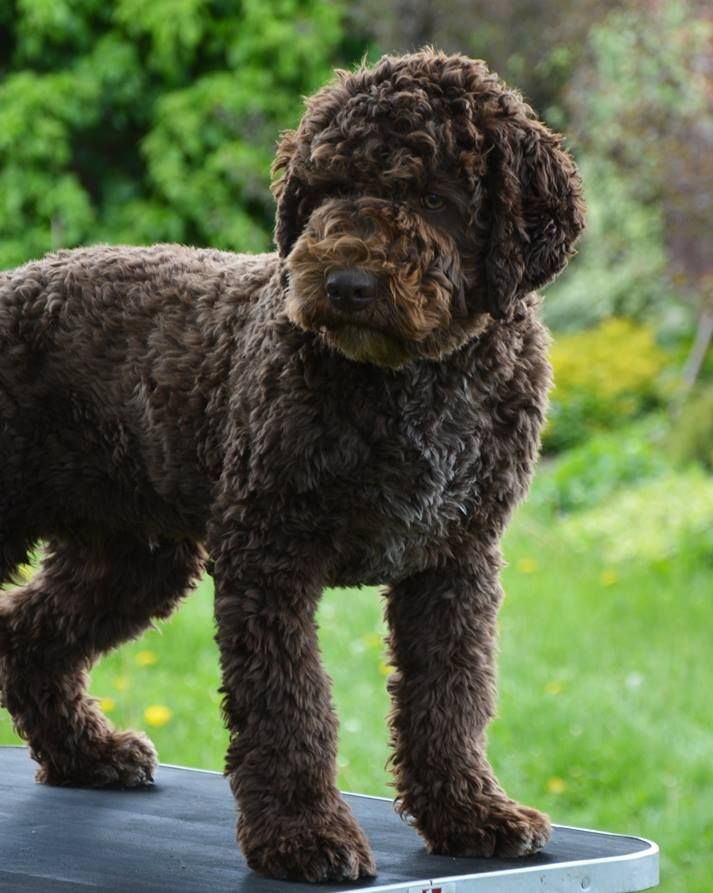 Nice Haircut For A Lagotto D Is For Dog Hypoallergenic Dog Breed Lagotto Romagnolo Puppy