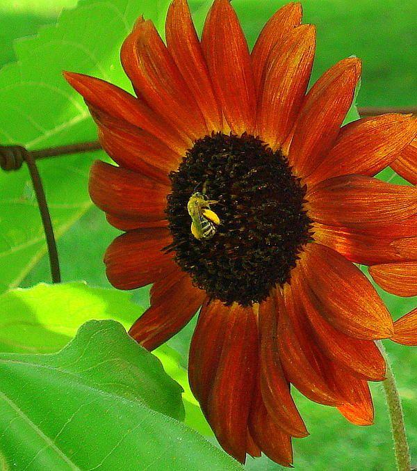 Red sunflower, bee, for more info click on photo.  www.rachel-munoz-striggow.artistwebsites.com