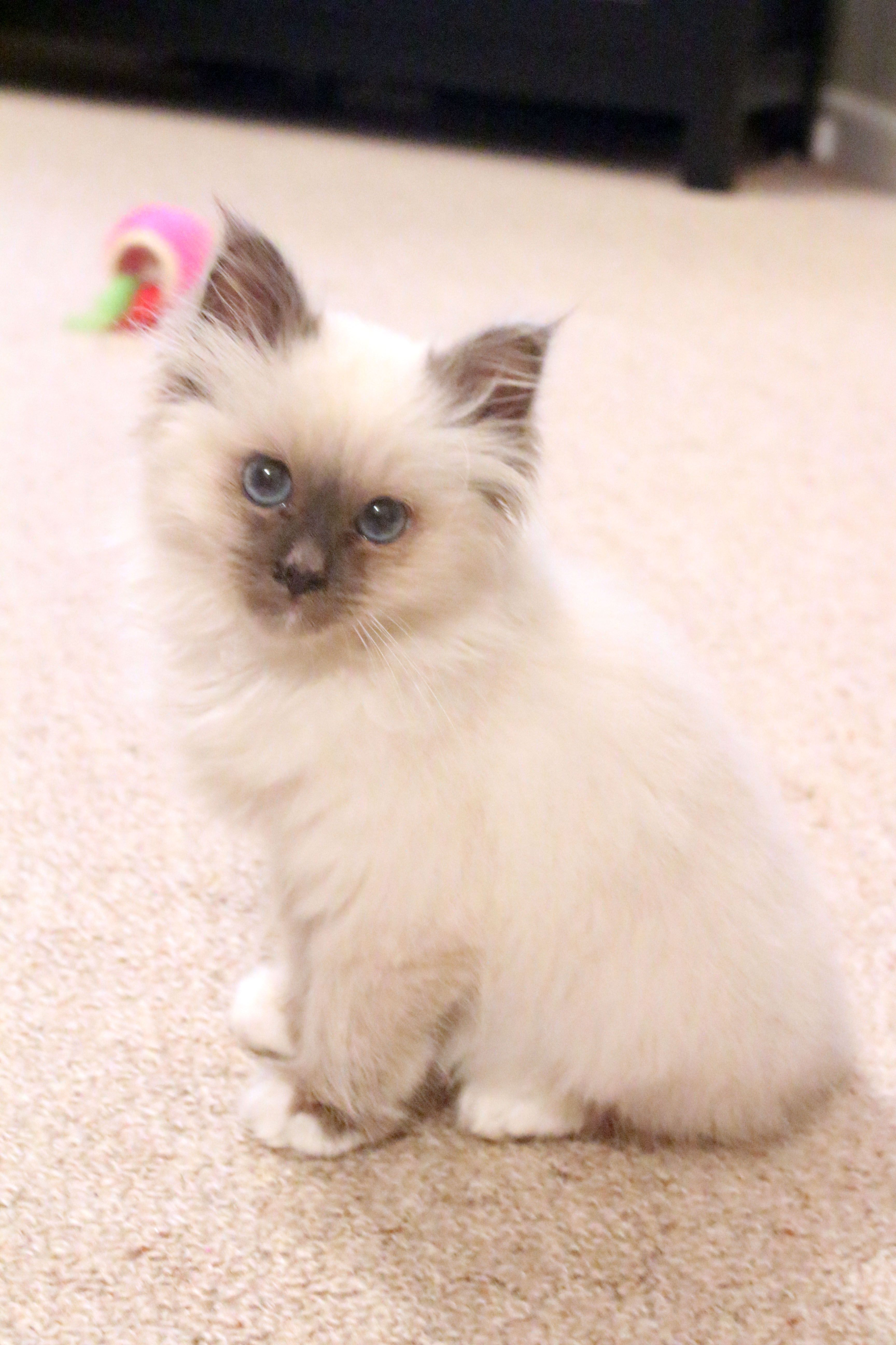 Birman Kitten Blue Point 12 Weeks Old Birman Kittens Beautiful Cats Kittens Cutest