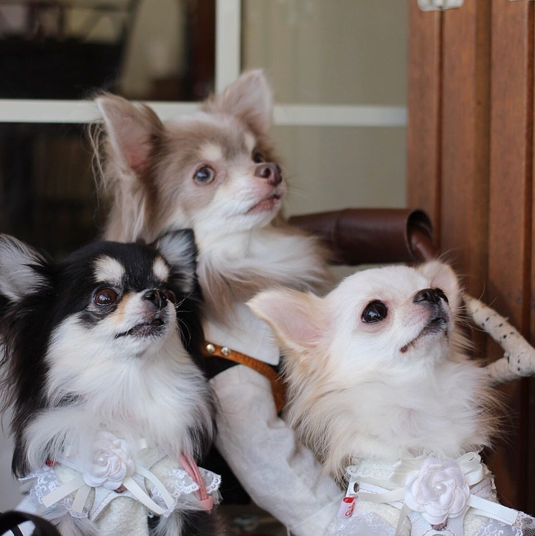 The look of wonder in their eyes. Cute chihuahua