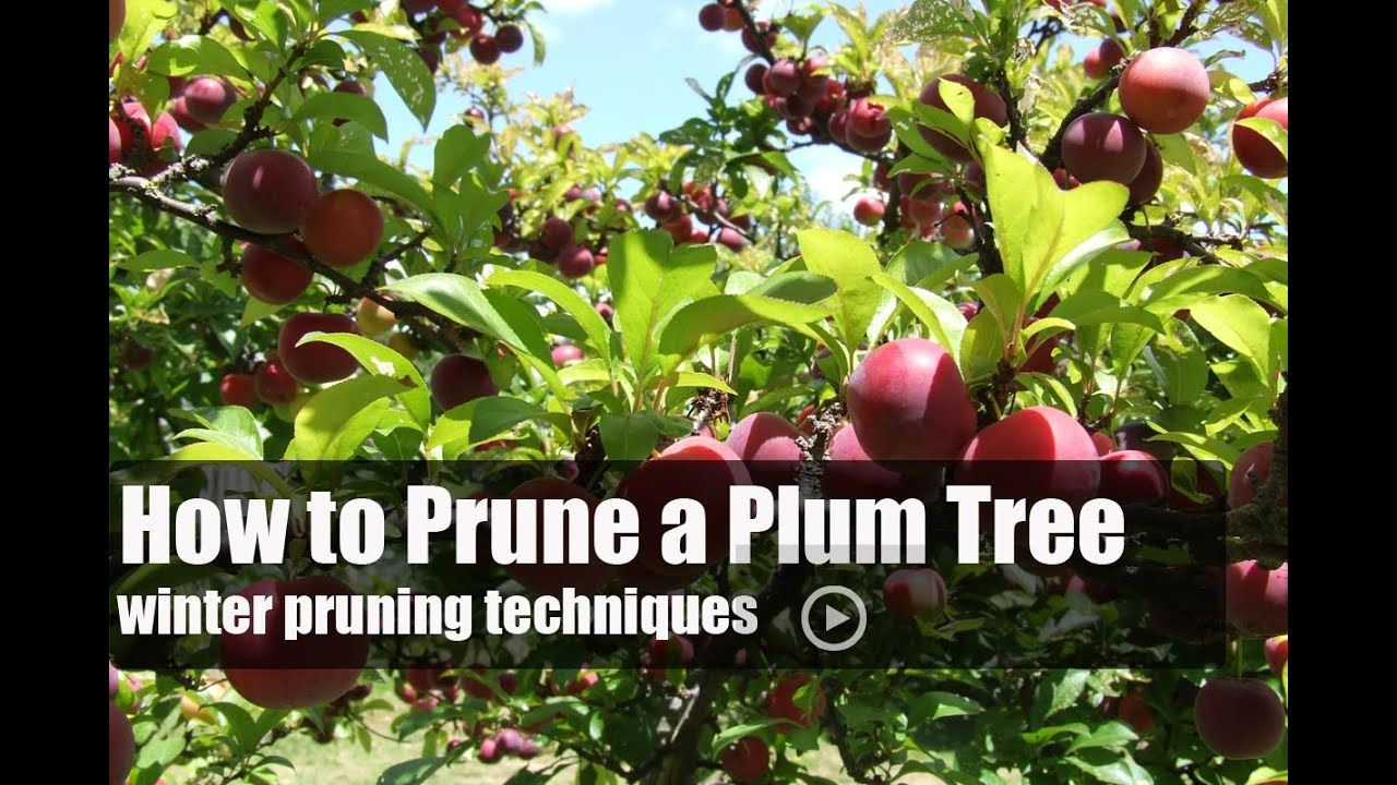 How To Prune A Plum Tree Youtube Plum Tree Pruning Fruit Trees Growing Fruit Trees