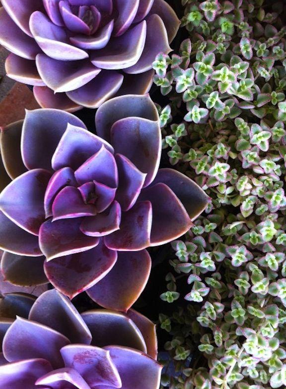 Events Photo purple weddng GARTEN GESTALTUNG Sukkulenten pflanzen, Sukkulenten und Coole  ~ 01213229_Sukkulenten Balkon Winterhart