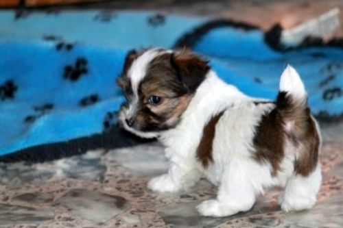 terrier x puppies - Dogs and Puppies, Rehome Buy and Sell in the ...