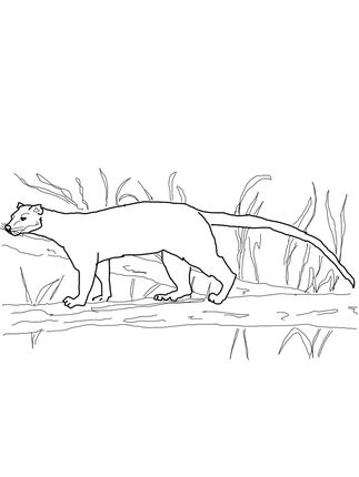 Fossa from Madagascar coloring