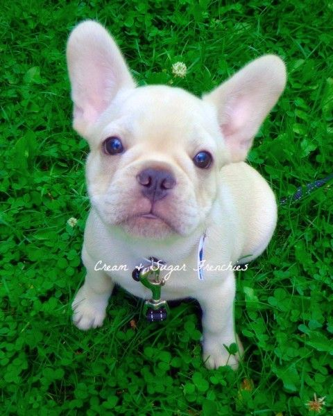 Cream Sugar Frenchies Karchi Out Of Tilly And Romeo Puppies