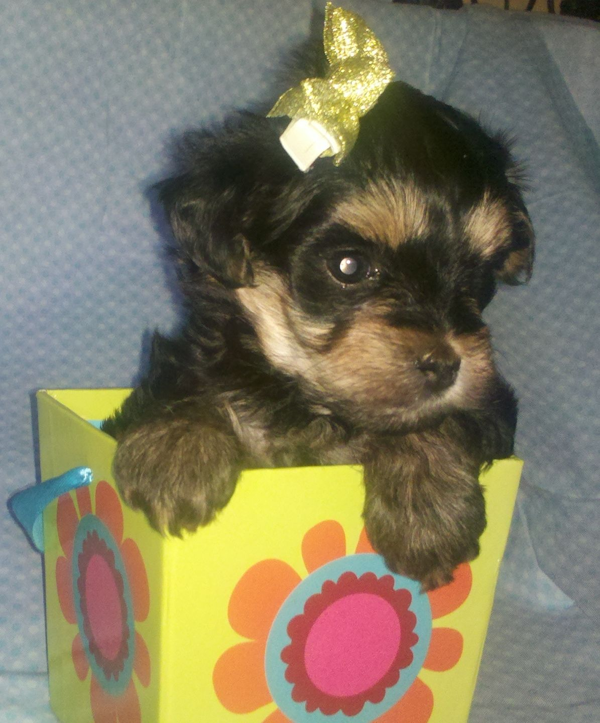 6 Week Old Morkie Puppy With Images Morkie Puppies Poodle