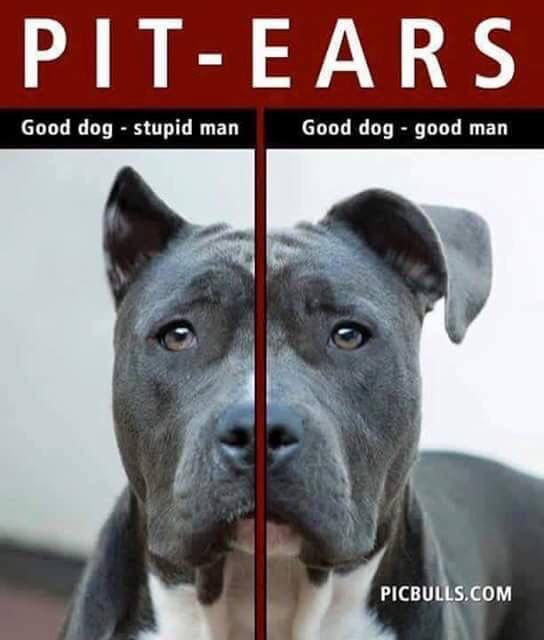 Blue Nose Pitbull Cropped Ears Blue Nose Pitbull Pitbulls Dog