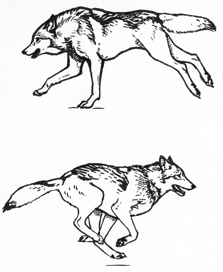 Wolf Running Sketches By Silvercrossfoxdeviantartcom On