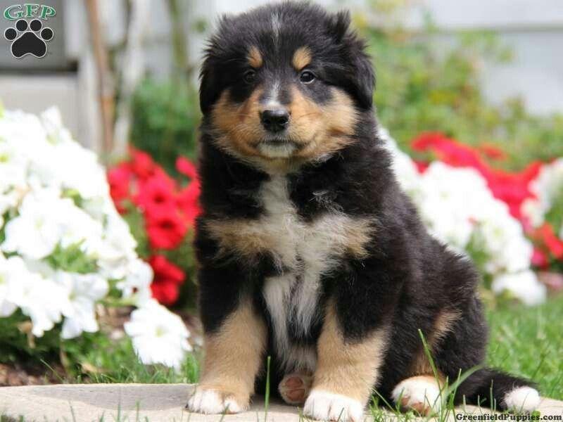 Tibetan Mastiff Bernese Mountain Dog Mix Bernese