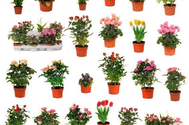 Plantas de interior que florecen todo el a o violeta africana kalanchoe afelandra alegr a - Alegria planta cuidados ...