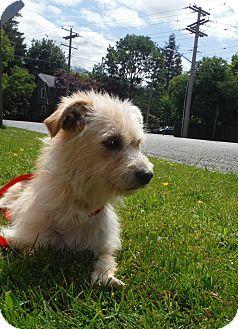 Pin By Susannah Balducci On Dogs Cairn Terrier Terrier Terrier Mix