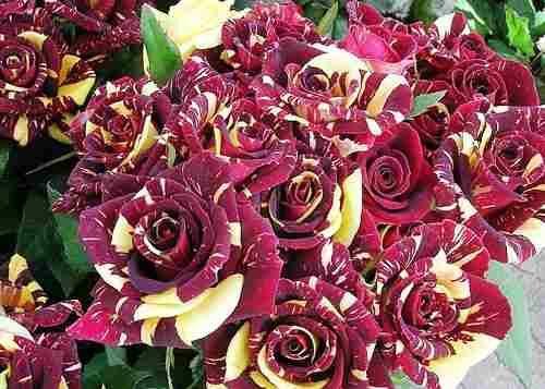 sementes de rosa meteor shower | Sementes De Mosquitinho Sortidos Cravo De Amor Gipsofila
