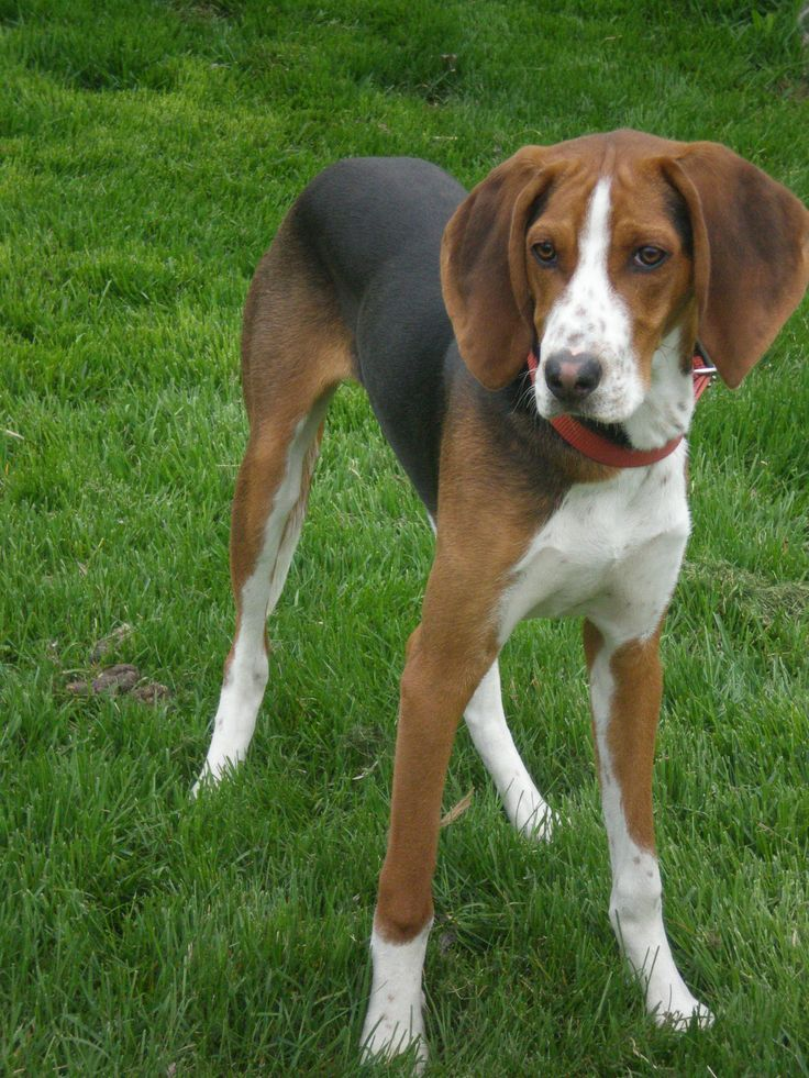 Treeing Walker Coonhounds That Darn Coon Dog