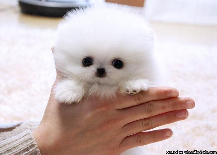 Mini Pomeranian Tiny Teacup Pomeranian Puppies For Adoption In
