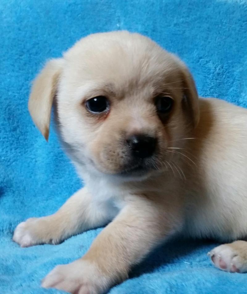 Adopt Sandy on Pekingese dogs, Puppy pads, Pug mix