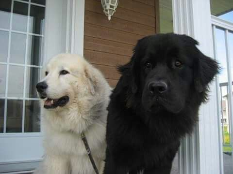 Golden Retriever Newfoundland Top Dog Breeds Beautiful Dogs