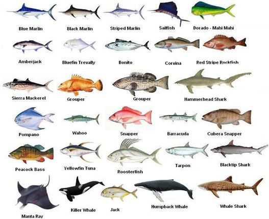 Current marine life news swordfish pinterest fish sea fish and saltwater fishing for Saltwater fish names