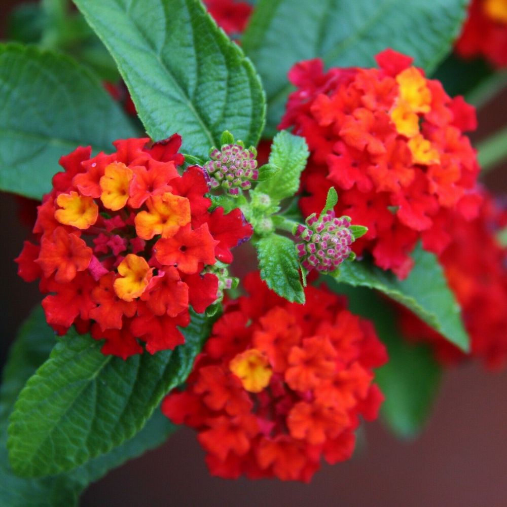20pc Lantana Camara Kvetiny Semena Vzacne Bonsai Rostliny Krasne Zahrady V Domacnosti Ebay With Images Rostliny Kvetiny Semena