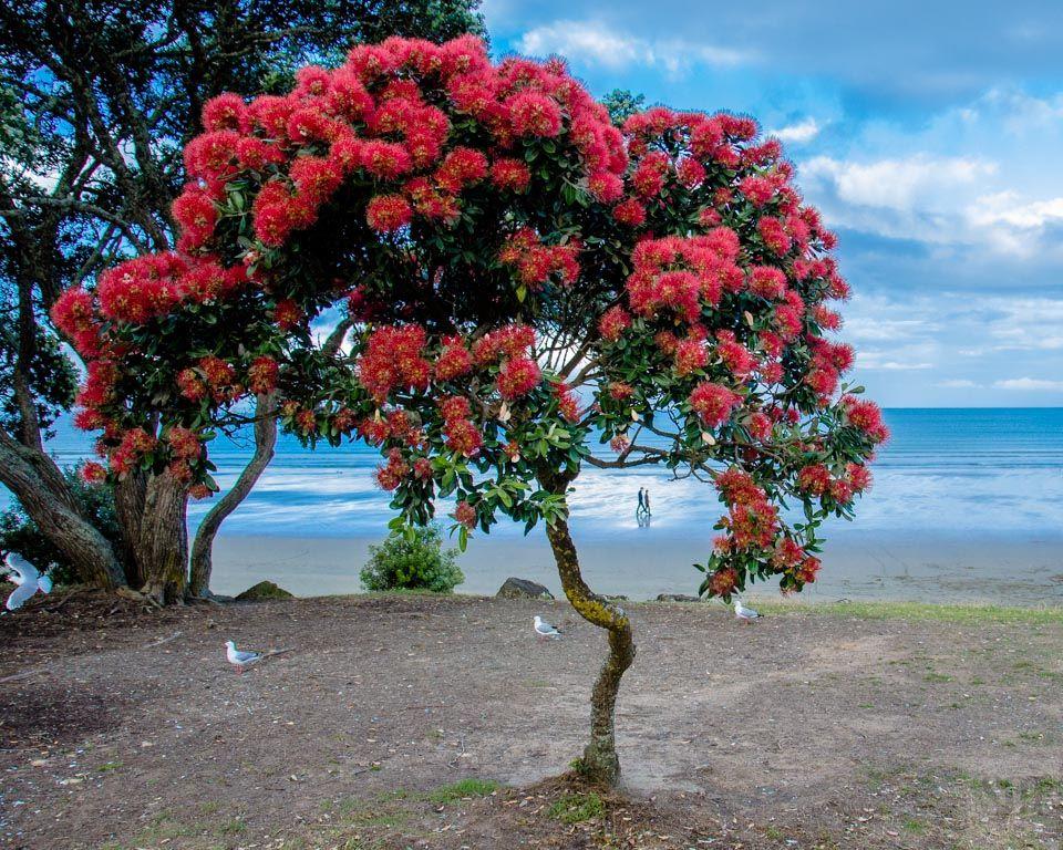 Nice Pohutukawa Tree Christmas   Google Search