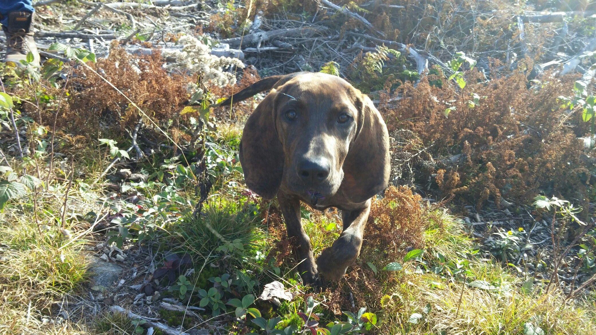 Rose 4 months old #redbone #coonhound