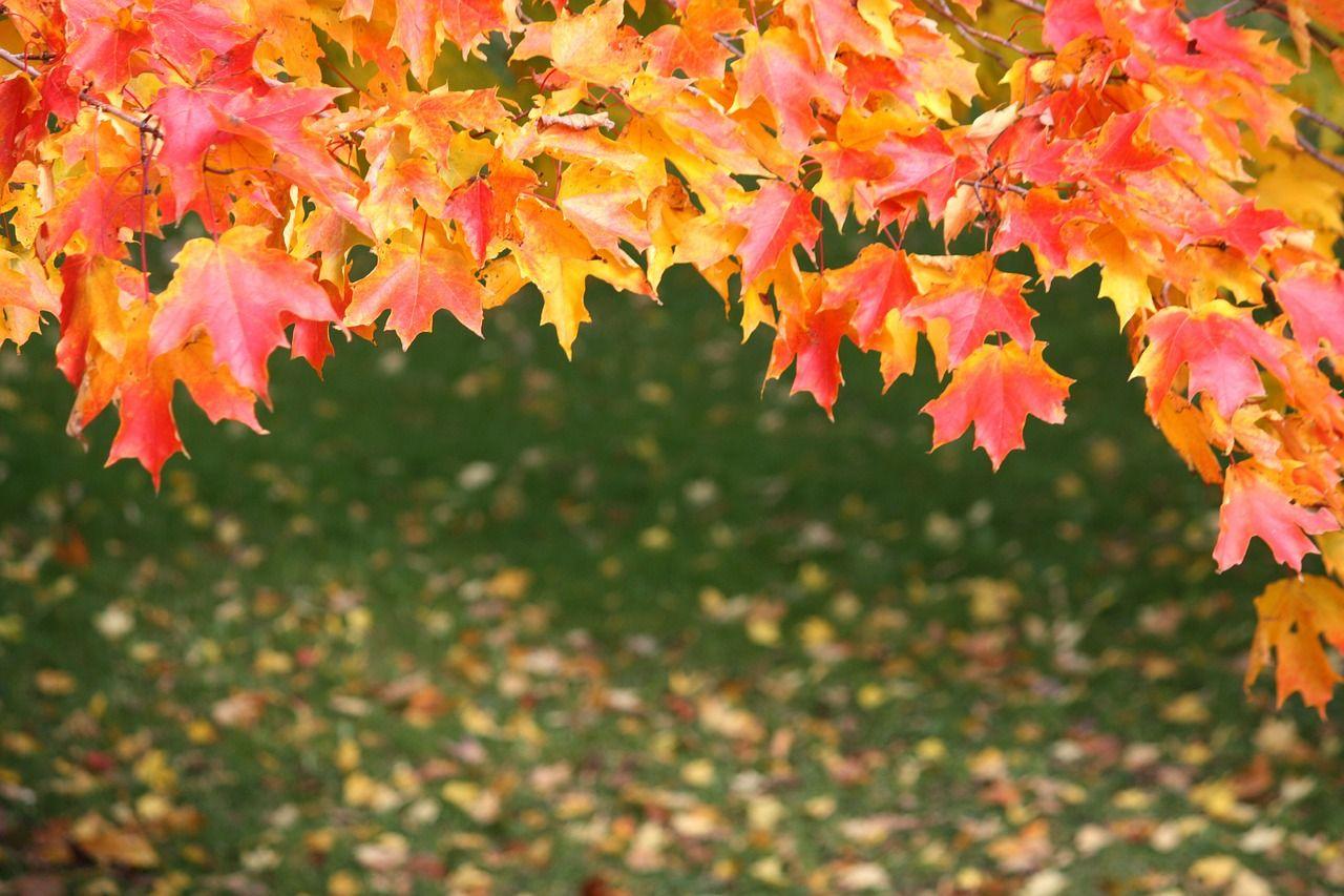 Free Image on Pixabay - Leaves, Autumn, Fall, Maple, Nature | Autumn ...