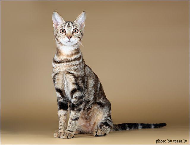 Black Sokoke Tabby Cat Breeds Inspirational Cats Rare Cat Breeds