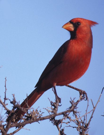 An adult male cardinal North Carolina State Bird | Mooresville and ...